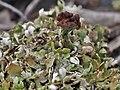 Cladonia subcariosa Nyl 835516.jpg