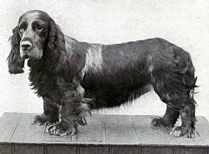 Field Spaniel - Ch. Clareholm Dora, Best Champion at Crufts in 1909.