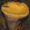 Clavariadelphus truncatus P2406 v1.JPG