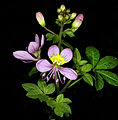Cleome oxyphylla var. oxyphylla 1DS-II 7380.jpg
