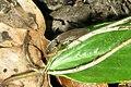 Click beetle (HW) (13989735838).jpg