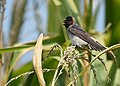 Cliff Swallow - juvenile (29135096287).jpg