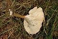 Clitocybe.squamulosa2.-.lindsey.jpg
