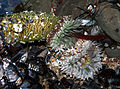Clone war of sea anemones 3.jpg