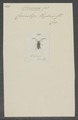 Cloniocerus - Print - Iconographia Zoologica - Special Collections University of Amsterdam - UBAINV0274 034 17 0004.tif