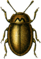 Coccinella obliterata Jacobson.png