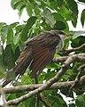 Coccyzus americanus Cuco americano Yellow-billed Cuckoo (15400863187).jpg