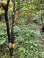 Cocoa plantation.JPG