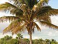 Coconut Palm - Flickr - treegrow.jpg