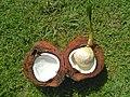 Cocos nucifera - Drup (Arecaceae) 01.jpg