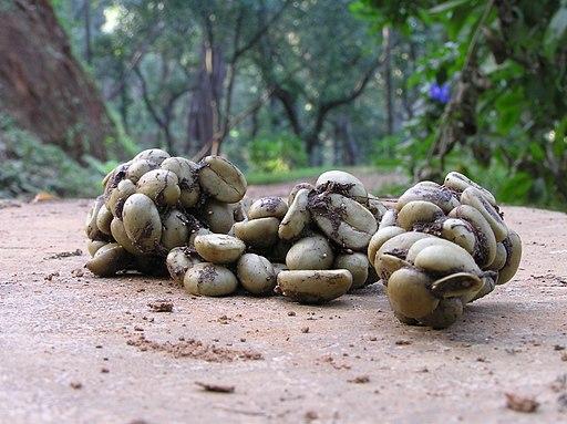 Coffee seeds in civet scat