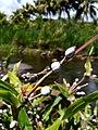 Coix lacrima-jobi (Poaceae) 04.jpg