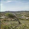 Collectie Nationaal Museum van Wereldculturen TM-20029573 Dividiviboom in het landschap in de omgeving Sabana Grandi Aruba Boy Lawson (Fotograaf).jpg