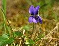 Common Dog Violet - geograph.org.uk - 805631.jpg