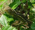 Common Garden Lizard. Calotes versicolor. - Flickr - gailhampshire (3).jpg