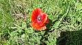 Common Poppy (Papaver rhoeas) 2.jpg