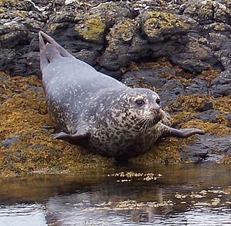 Great Bernera - Atlantic seal (Halichoerus grypus)