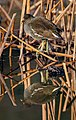 Common moorhen in Suita, Osaka, December 2016 - 689-edit.jpg