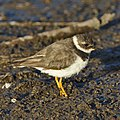 Common ringed plover, Charadrius hiaticula, at Marievale Nature Reserve, Gauteng, South Africa (45471771862).jpg