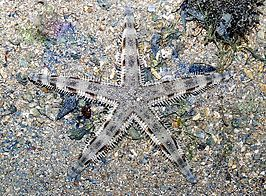 Common sea star (Archaster typicus).jpg