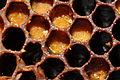ComputerHotline - Alveoles pleines de pollen (by).jpg