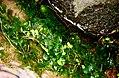 Conringia orientalis (L.) Andrz. (AM AK305925-2).jpg