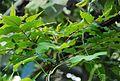 Conservatoire botanique national de Brest-Poupartia castanea-15 07 03-Philweb (19195388900).jpg