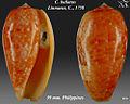 Conus bullatus 1.jpg