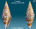 Conus excelsus 2.jpg