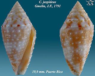 Conasprella jaspidea species of molluscs