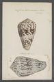 Conus testudinarius - - Print - Iconographia Zoologica - Special Collections University of Amsterdam - UBAINV0274 085 10 0029.tif