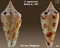 Conus zapatosensis 3-j.jpg