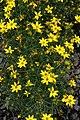 Coreopsis verticillata Zagreb 11zz.jpg