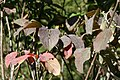 Cornus florida rubra 5zz.jpg