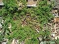 Coronopus didymum plant (11).jpg