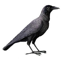 Corvus enca.jpg