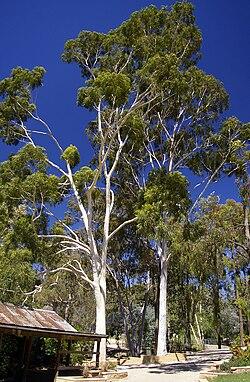 Resultado de imagem para eucalipto P´W