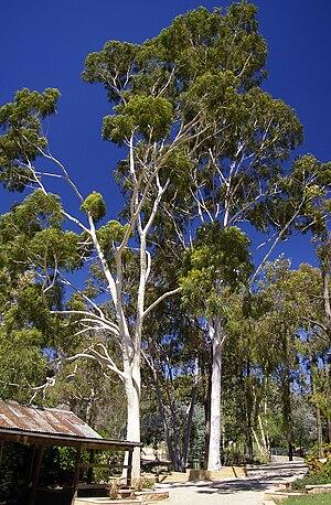 Corymbia citriodora - Image: Corymbia citriodora