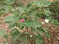 Cotton plant with flowers and fruits.jpg