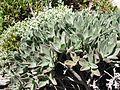Cotyledon orbiculata00.jpg