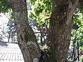Couropita guianensis-tree-yercaud-salem-India.JPG