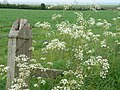 Cow parsley - near Edward 1 Memorial, Solway Plain - May 2012 - panoramio.jpg