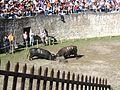 Cowfight0.jpg