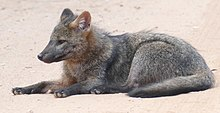 Crab-eating Fox (Cerdocyon thous) resting on the road ... (48300644236).jpg