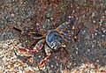 Crabs of Seychelles 08.jpg