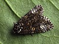 Craniophora ligustri - The Coronet - Совка бирючинная (27182931578).jpg