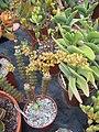 Crassula Perforata Varigata in flower (6120993808).jpg