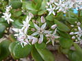 Crassula ovata bloomed-2.JPG