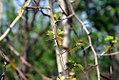 Crataegus phaenopyrum 6zz.jpg