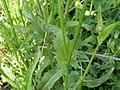 Crepis setosa leaf (15).jpg